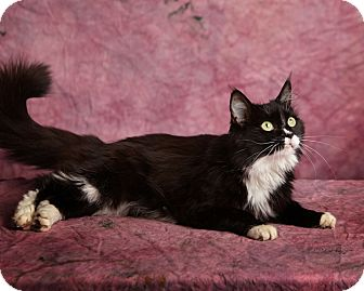 Domestic Mediumhair Cat for adoption in Harrisonburg, Virginia - Cruella Pawville