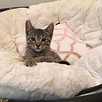 Adopt A Pet :: Cougar - Land O Lakes, FL