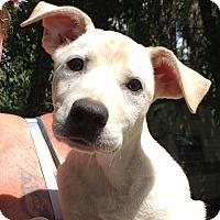 Adopt A Pet :: Ivory - Orlando, FL
