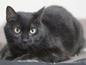 Domestic Shorthair Cat for adoption in Rocky Mount, Virginia - Cole