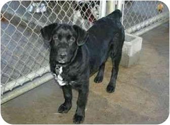 Labrador Retriever Mix Dog for adoption in Muldrow, Oklahoma - Little Bear