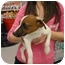 Photo 1 - Jack Russell Terrier Puppy for adoption in Lonedell, Missouri - Logan