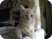 Domestic Shorthair Kitten for adoption in Tampa, Florida - Belle