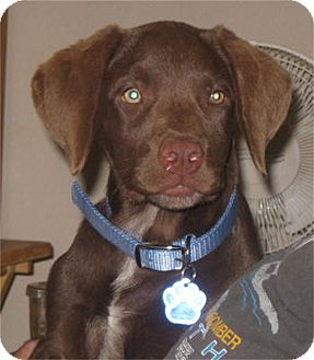 Chesapeake Bay Retriever/Retriever (Unknown Type) Mix Puppy for adoption in Golden Valley, Arizona - Joe (Bruin)