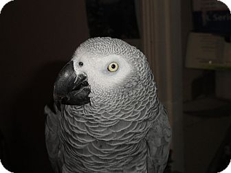 African Grey for adoption in Vancouver, Washington - Tame 11 Y.O Congo African Grey