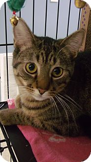 Domestic Shorthair Cat for adoption in Muskegon, Michigan - Willow