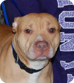 Terrier (Unknown Type, Medium)/American Pit Bull Terrier Mix Dog for adoption in Brooklyn, New York - Satchel