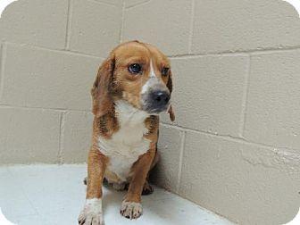 Beagle Dog for adoption in Nanuet, New York - Benji
