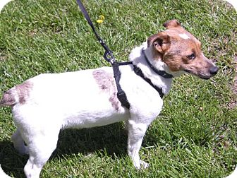 "Jack Russell Terrier Mix Puppy for adoption in New Castle, Pennsylvania - "" Roxie """