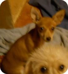Chihuahua Puppy for adoption in dewey, Arizona - Charles
