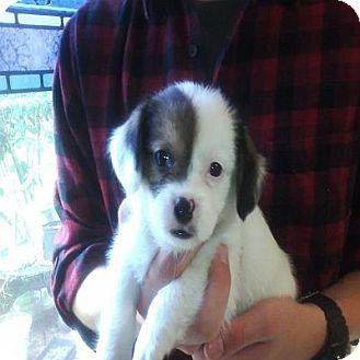 Basset Hound/Shih Tzu Mix Puppy for adoption in Hop Bottom, Pennsylvania - Marcella