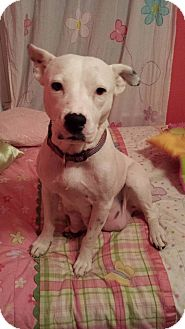 American Pit Bull Terrier/American Bulldog Mix Dog for adoption in Roaring Spring, Pennsylvania - Camille