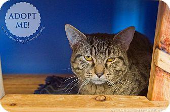 Bengal Cat for adoption in Brookings, South Dakota - Morrison