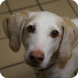 Hound (Unknown Type) Mix Dog for adoption in Eatontown, New Jersey - Rose