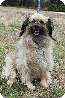 Yorkie, Yorkshire Terrier/Pekingese Mix Dog for adoption in Greenville, Virginia - Buffy