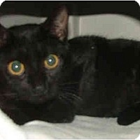 Adopt A Pet :: Bagheera - Dallas, TX