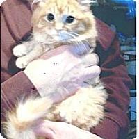 Adopt A Pet :: Marmalade - Acme, PA