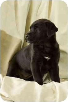 Labrador Retriever/Border Collie Mix Puppy for adoption in Portland, Oregon - Fifi