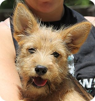 Airedale Terrier/Corgi Mix Puppy for adoption in Pewaukee, Wisconsin - Piper