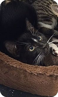 Domestic Shorthair Cat for adoption in Pittstown, New Jersey - Smudge