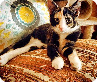 Domestic Shorthair Cat for adoption in Burlington, North Carolina - AUGUSTINA