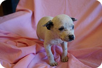 Australian Cattle Dog/Border Collie Mix Puppy for adoption in Groton, Massachusetts - Fay