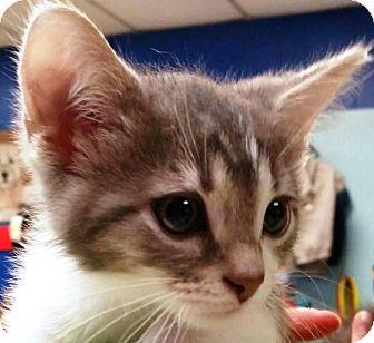 Domestic Mediumhair Kitten for adoption in Adrian, Michigan - Ghandi
