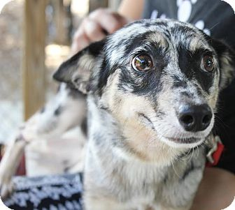 Australian Shepherd/Australian Terrier Mix Dog for adoption in Boca Raton, Florida - Bobbi