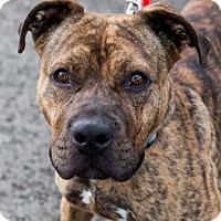 Adopt A Pet :: Chance, the Golden Boy - Issaquah, WA