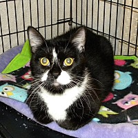 Domestic Shorthair Cat for adoption in Bartlett, Illinois - Molly