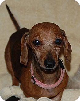 Dachshund Dog for adoption in Atlanta, Georgia - Ellie-ADOPTION PENDING