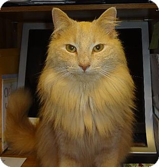 Maine Coon Cat for adoption in Absecon, New Jersey - Rowan