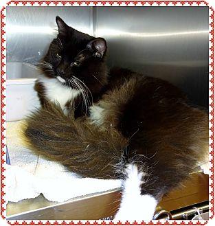 Domestic Longhair Cat for adoption in Marietta, Georgia - SHADOW (R)