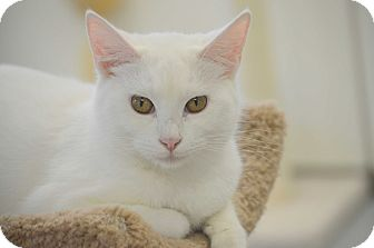 Domestic Shorthair Cat for adoption in San Leon, Texas - Oro