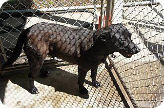 Labrador Retriever Mix Dog for adoption in Henderson, North Carolina - MALAYSIA