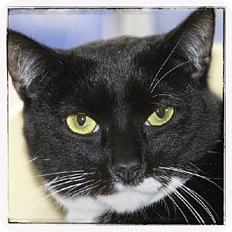 Domestic Shorthair Cat for adoption in Salem, Massachusetts - Saria