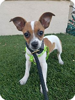 Chihuahua/Rat Terrier Mix Puppy for adoption in Saugus, California - Squirt