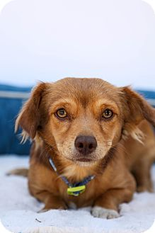 Dachshund/Cocker Spaniel Mix Dog for adoption in Auburn, California - Snickers