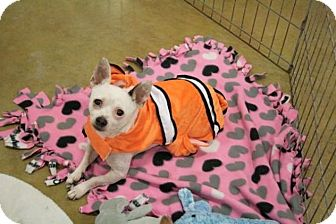 Chihuahua/Terrier (Unknown Type, Small) Mix Dog for adoption in Sacramento, California - Spike