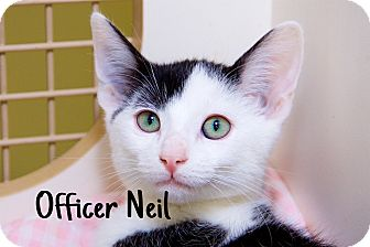 Domestic Shorthair Kitten for adoption in Livonia, Michigan - Officer Neil
