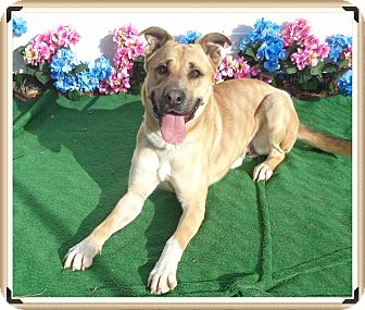 Shepherd (Unknown Type)/Retriever (Unknown Type) Mix Dog for adoption in Marietta, Georgia - CHANCE - adopted @ off-site