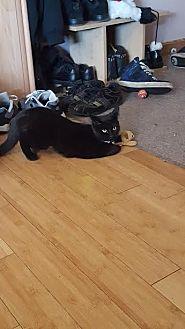Domestic Shorthair Kitten for adoption in Hazel Park, Michigan - Pebbles