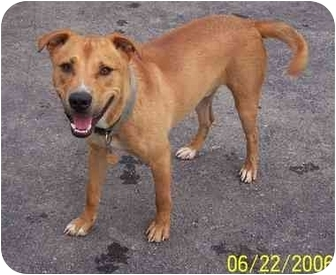 Pit Bull Terrier/Labrador Retriever Mix Dog for adoption in Columbus, Indiana - Charlie