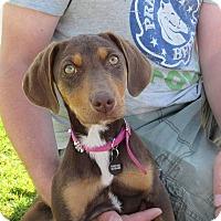 Adopt A Pet :: Dixie - Broken Arrow, OK