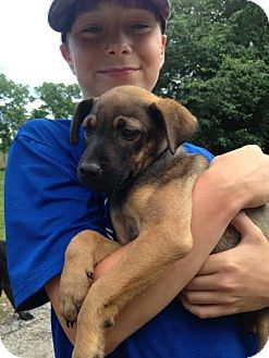 Shepherd (Unknown Type)/Labrador Retriever Mix Puppy for adoption in Manchester, New Hampshire - Fritz - pending