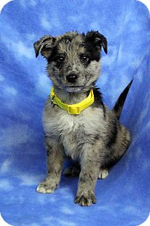 Shepherd (Unknown Type) Mix Puppy for adoption in Westminster, Colorado - Baguette