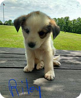 Great Pyrenees/Labrador Retriever Mix Puppy for adoption in Burlington, Vermont - Riley