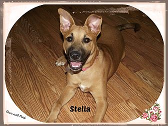 Boxer/Lakeland Terrier Mix Dog for adoption in Canton, Ohio - Stella