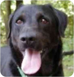 Retriever (Unknown Type) Mix Dog for adoption in Eatontown, New Jersey - Butch