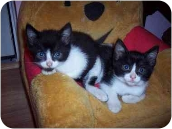 Domestic Shorthair Kitten for adoption in Medina, Ohio - Andy